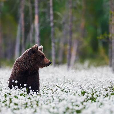 Tupasvillat ja karhu