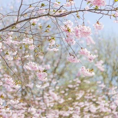 Kirsikkatarha